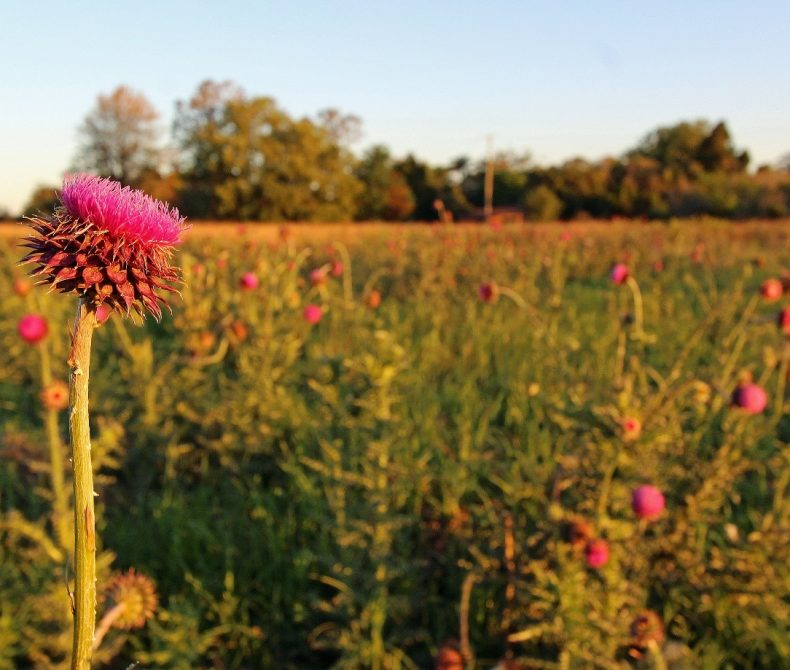 Image of a Spear Thistle in a field.